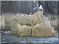 NU2337 : Kittiwake on a rock by N Chadwick