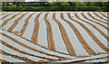 J4374 : Field and plastic sheeting, Dundonald (April 2014) by Albert Bridge