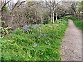 SJ9494 : Bluebells by the path to Church View by Gerald England