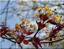 SX9065 : Acer flowers, Cricketfield Road by Derek Harper