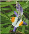 SD5673 : Orange Tip on a bluebell by Karl and Ali