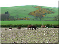NT4929 : Cattle and sheep folded on root crop by Oliver Dixon