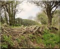 SX6960 : Laid hedge by Penstave Copse by Derek Harper