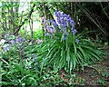 TG2626 : Bluebells beside path to Long Common Lane by Evelyn Simak