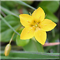 NM4783 : Yellow Pimpernel (Lysimachia nemorum) by Anne Burgess