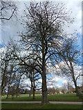TM1645 : Horse Chestnut Tree, Christchurch Park by Hamish Griffin