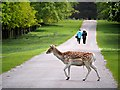 SJ7387 : Fallow Deer Crossing the Main Drive, Dunham Massey Estate by David Dixon