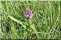 SO7835 : Pyramid Orchid by Bob Embleton