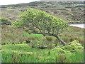 NR3995 : Wind-shaped hawthorn by M J Richardson