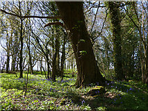 SU8315 : Small area of woodland by Chris Gunns