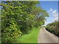 SX3566 : Laneside trees near Amy Down by Derek Harper