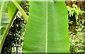 J3372 : Leaves, the tropical ravine, Botanic Gardens, Belfast - May 2014(1) by Albert Bridge