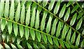 J3372 : Leaves, the tropical ravine, Botanic Gardens, Belfast - May 2014(2) by Albert Bridge