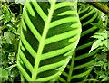 J3372 : Leaves, the tropical ravine, Botanic Gardens, Belfast - May 2014(3) by Albert Bridge