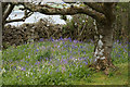HU4349 : Bluebells under trees at Wadbister by Mike Pennington
