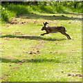 SP5141 : Hare, Thenford Arboretum by David P Howard