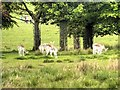 SJ7581 : Fallow Deer Grazing at Tatton Park by David Dixon