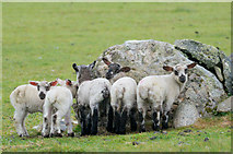 HP5605 : Lambs sheltering from the rain behind a stone, Westing by Mike Pennington