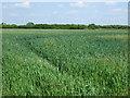TF4106 : Crop field near Oaklands by JThomas