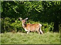 SJ7579 : Red Buck in Tatton Deer Park by David Dixon