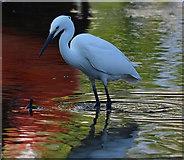 SX2553 : Little Egret, Looe Harbour, Cornwall by Edmund Shaw