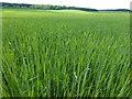 TF7618 : Cereal crop near Gayton Thorpe by Richard Humphrey