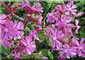 TA1974 : Red campion, Bempton cliffs by Pauline E
