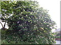 TM1643 : Conker Tree on Belstead Road by Hamish Griffin
