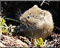 NR8468 : Bank vole (Myodes glareolus) by sylvia duckworth