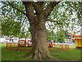 TM1544 : Large London Plane Tree by Hamish Griffin