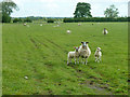 SP9419 : Sheep and lambs by Robin Webster