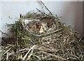 SU6787 : Thrushes' nest by Rob Farrow