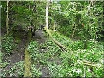 SJ9594 : Tree across the duckboards (2) by Gerald England