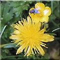 SJ9594 : Bluebottle fly on a buttercup above a dandelion by Gerald England