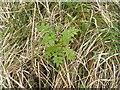 NR5776 : Rowan seedling at Achamore by M J Richardson