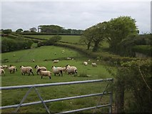 SX6296 : Sheep at Church Hill Cross by David Smith