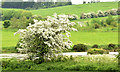J4372 : Hawthorn blossom, Dundonald/Comber (May 2014) by Albert Bridge