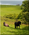 SX1750 : Ponies near Lansallos, Cornwall by Edmund Shaw