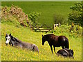 SX1750 : Ponies in the buttercups, near Lansallos, Cornwall by Edmund Shaw