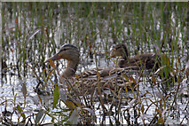 HP6312 : Mallard (Anas platyrhynchos) with duckling at Haroldswick pool by Mike Pennington