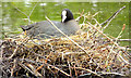 J3675 : Nesting coots, Victoria Park, Belfast - June 2014(2) by Albert Bridge