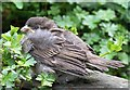 NT4936 : A fledgling house sparrow by Walter Baxter