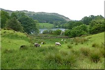 NY3404 : Sheep above Loughrigg Tarn by DS Pugh