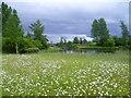 TQ2276 : Ox-eye daisies at the London Wetland Centre by Marathon