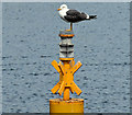 J3475 : Lesser black-backed gull, Belfast harbour (June 2014) by Albert Bridge