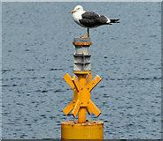J3475 : Lesser black-backed gull, Belfast harbour (June 2014) by Albert Bridge