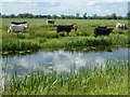 TL4584 : Cattle on The Counter Wash - The Ouse Washes by Richard Humphrey