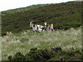 NT9127 : Wild goats on the slopes of Newton Tors by Andrew Curtis