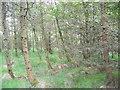 NZ1749 : Maturing woodland by brian clark
