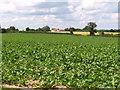 TF9116 : Sugar beet crop by Point Farm by Evelyn Simak